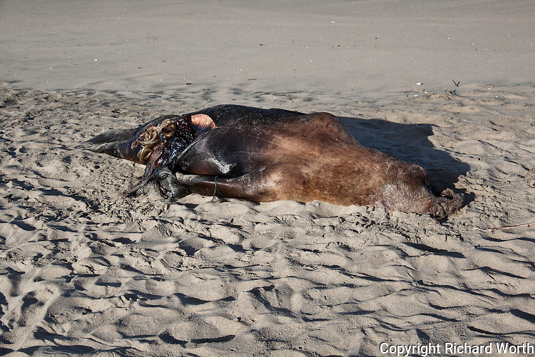 Four days after its discovery on Pomponio State Beach, a sub-adult, male Steller sea lion shows signs it has been examined by a representative of the Marine Mammal Center.  Examination found, among other things, that its stomach was empty and there was no evidence it had been shot.  Cause of death:   'undetermined' - another  of many unexpalined Steller sea lion deaths.  The Steller sea lion is listed as a threatened/endangered species.