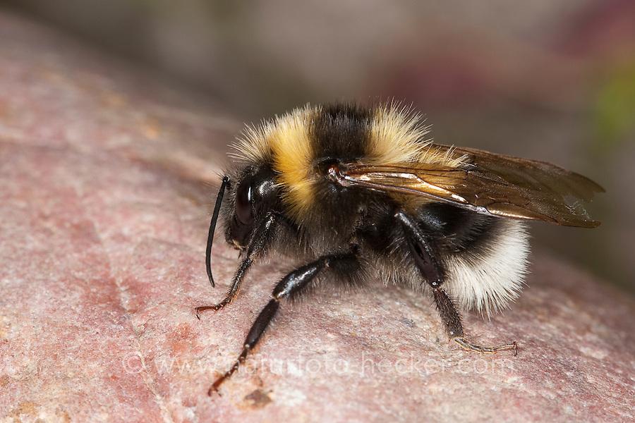 Gartenhummel, Garten-Hummel, Männchen, Bombus hortorum, Megabombus hortorum, small garden bumble bee