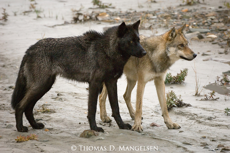 Born two and a half years ago into the legendary Toklat pack, the most studied wolf pack in the world, these brothers stick close together, a behavior that is crucial to their survival.