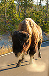 Bison in the Road at Sunrise, Madison Junction, Yellowstone National Park, Wyoming