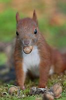 Eichhörnchen, Europäisches Eichhörnchen, Jungtier, Junges, frisst Haselnuss, Haselnuß, Nuss, Nuß, Sciurus vulgaris, European red squirrel, Eurasian red squirrel