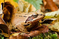 Agile frog, Rana dalmatina among dead leaves, forest in Plitvice National Park, Croatia