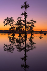 A small cypress grove reflected on the water of a small lake in southern Louisiana.