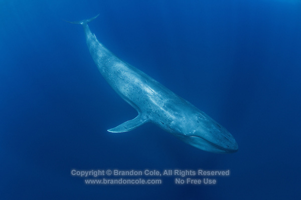 TC0091-D. Blue Whale (Balaenoptera musculus) underwater. Feeds on krill and other small crustaceans such as copepods, swallows huge clouds of the tiny invertebrates and then strains out water by using the baleen plates hanging from top jaw. Found throughout the world in polar and temperate seas, usually solitary or in pairs though sometimes in large aggregations at feeding grounds. Pacific Ocean.<br /> Photo Copyright &copy; Brandon Cole. All rights reserved worldwide.  www.brandoncole.com