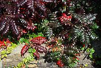Rhus copallina 'Creel's Quartet' in brilliant fall autumn color. Rhus copallinum, the winged sumac shrub, shining sumac, dwarf sumac, or flameleaf sumac, is a species of flowering plant in the cashew family that is native to eastern North America