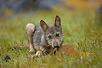 This photo was taken in Gitga'at Territory, the young curious wolf pup was playing with kelp.  This is one of many rare experiences in Gitga'at Territory that is at risk from the onset of the expantion to tanker traffic in our territory.  Tanker traffic is happeneing right now, but the threat is increasing.  The iLCP is the prime opportunity for us as Gitga'at to participate and promote what is at risk and endangered!