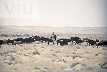 Herd of Sheep in the Middle East. Overgrazing by livestock is one reason for spreading desertification.