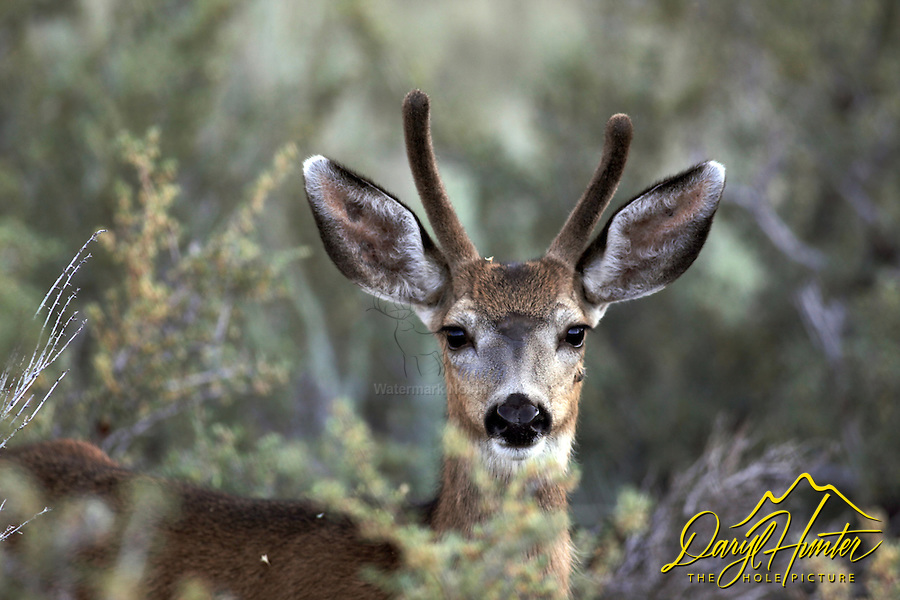 Mule Deer, buck, spike, portrait, Bridgeport, CA