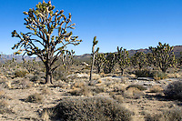 Joshua tree (Yucca brevifolia) forest in the Mojave Desert, California.