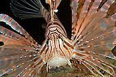 Lionfish (Pterois volitans), Malaysia.