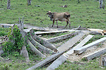 A cow and a sliced-up tree, the results of a steady process of deforestation that is destroying Guatemala's remaining rain forest.