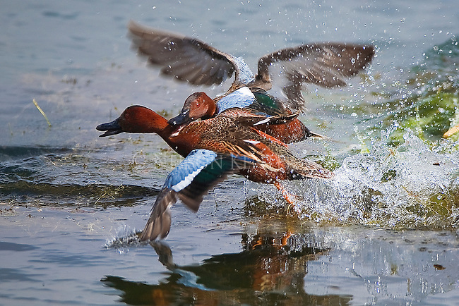 Cinnamon Teal Drakes tangle in a mating season dispute