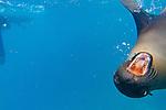 Snorkeling with a sea lion at Champion Islet near Floreana Island, Galapagos National Park, Galapagos, Ecuador