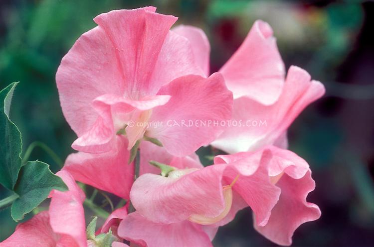 Lathyrus odoratus 'Angela Ann' pink sweetpeas sweet peas flowers maco