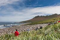 Photographers at a Black-browed albatross colony. Steeple Jason Island, Falkland Islands