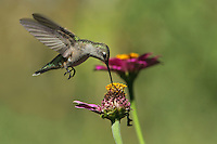 Black-chinned Hummer female, makin' the rounds.<br />
