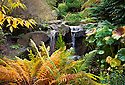 WA08867-00...WASHINGTON - Fall time at the waterfall in Shorts Ground Cover Garden area of Bellevue Botanical Garden.
