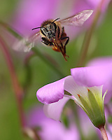 Honey Bee inflight framed in small Wild Oxalis groundcover wildflowers, Central Texas Hill Country.