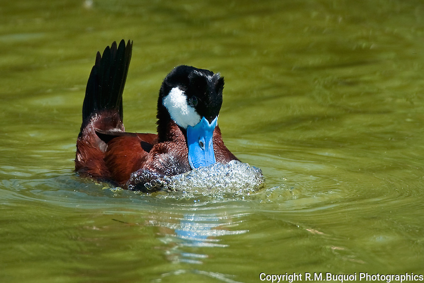 Ruddy Duck drake in breeding plumage