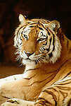 Bengal tiger (captive)