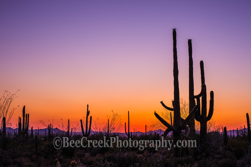 Tucson at sunset with a silhouette of the saguaro cactus and a colorful sky in the background as the day turns to nigh.  This colorful image was taken as the sun was setting in the Saguaro National Park.  B eing from Texas I thought I had seen plenty of catus, but no I haven't. Every inch of this place has something that will stick or sting you, if your not very careful and I speak from experience!  I love the look of the Saguaro as the sun began to set in this desert. It was amazing to see rows and row of these masses sagauro catus with most being between 20 to 30 ft ft high, but they can grow to be 70 ft high. The Saguaro cactus is a protected species so this allows them to thrive very well in this hostile and very dry desert landscape. Some species of the saguaro catus can live to be 150 years. Many birds use the holes created by the woodpecker to make their nest to raise their young. The fruit of the tree has been used to make a fermented drink made from the bright red fruit to summon rains by theO'odham tribes.