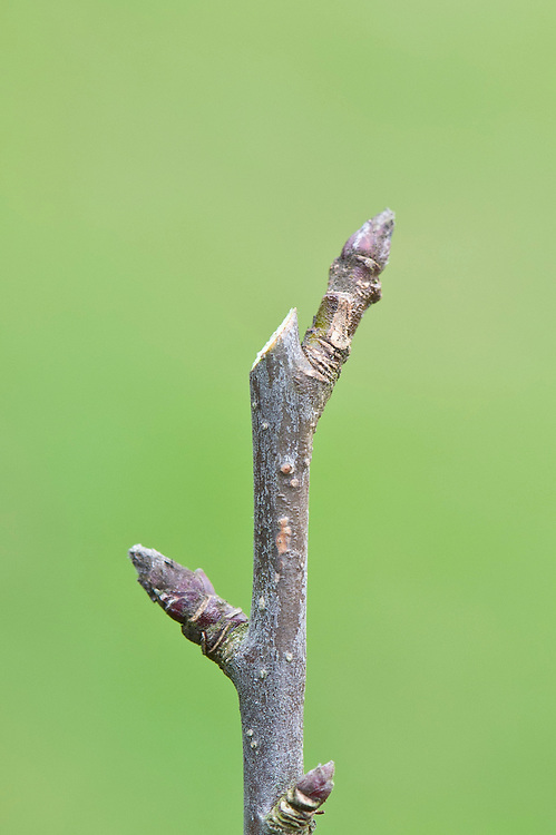 The correct pruning cut is sloping and parallel with the bud so that rainwater drains away from it. Cut close but not too close.