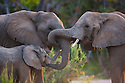 Namibia;  Namib Desert, Skeleton Coast,  desert elephants (Loxodonta africana) touching each other with their trunks