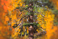 Pine Amongst Aspens - Fall Color - Lensbaby