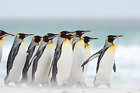 King Penguins (Aptenodytes patagonicus) walking along a sandy beach, Falkland Islands.