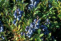 Lowbush blueberries Vaccinium angustifolium var. laevifolium