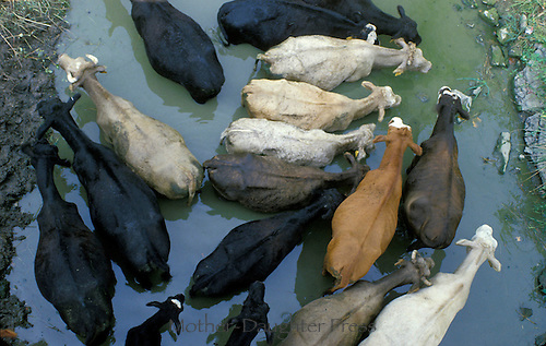 Cows from above in a pool of water