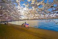 Man riding a recumbent bicycle through the cherry blossoms, Cherry Tree Walk, Tidal Basin, Washington D.C., U.S.A.