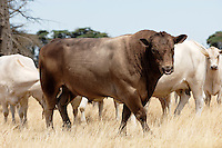 Murray Grey bull.<br />