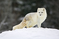 Artic Fox (Alopex lagopus) standing on top of a snowy hill with snow gently falling near Kalispell, Montana, USA - Captive Animal