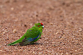 The red-crowned species is more susceptible to attack than yellow-crowned kakariki because they spend more time foraging on the ground for food. They are now extinct in mainland forests where small numbers of yellow-crowned kakariki still survive.