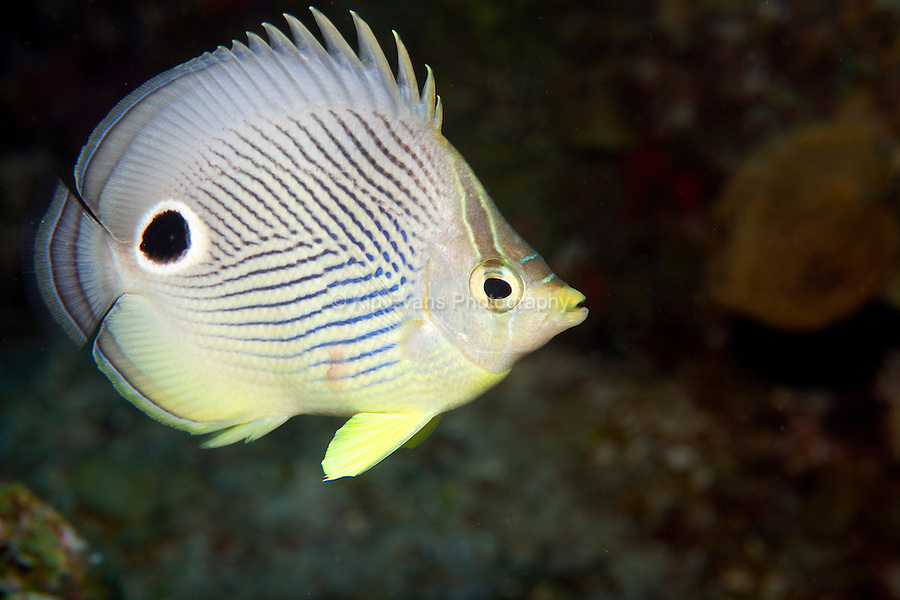A foureye butterfly fish on a night dive at Roatan, off the coast of Honduras.
