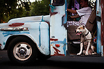 """Bebe and his owner Robert Swegan cruise the streets of Modesto, California during the American Graffiti Parade, June 7, 2013. Modesto is celebrating the 40th anniversary of the film """"American Graffiti"""", with a parade headed up by native son, filmmaker George Lucas."""