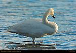 Trumpeter Swan, Swan Lake, Yellowstone National Park, Wyoming