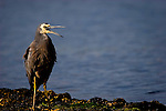 I had to work at getting thise close to this bird with a 400mm lens - Herons and egrets are very jumpy birds. I spent about half an hour edging over closer across the rocks until I was shooting portraits.Taken near Port Arthur, Tasmania. ......The White-faced Heron, Egretta novaehollandiae, (formerly Ardea novaehollandiae), often known incorrectly as the Grey Heron, is a common bird throughout most of Australasia, including New Guinea, the islands of Torres Strait, Indonesia, New Zealand, the islands of the sub-Antarctic, and all but the driest areas of Australia. It is a relatively small heron, pale, slightly bluish-grey in colour, with yellow legs and white facial markings. It can be found almost anywhere near shallow water, fresh or salt, and although it is prompt to depart the scene on long, slow-beating wings if disturbed, it will boldly raid suburban fish ponds...http://en.wikipedia.org/wiki/White-faced_Heron