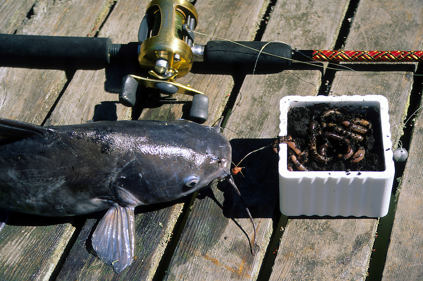 Channel Catfish<br /> Photos by Keith &quot;Catfish&quot; Sutton