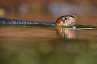 Indigo Snake swimming