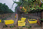 Field worker picks grapes at sunrise near Yountville