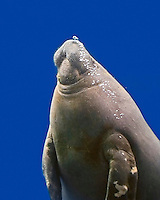 African Manatee Pictures