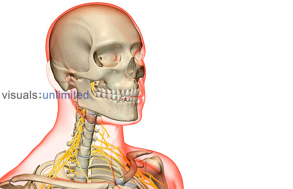 An anterolateral view (right side) of the nerve supply of the head and neck. The surface anatomy of the body is semi-transparent and tinted red. Royalty Free