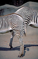 Zebra, Black, White  &  Stripe, Patterns