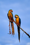 Blue-and-yellow macaws, Tambopata-Candamo National Reserve, Peru