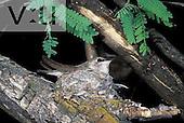 A Costa's Hummingbird (Calypte costae) Catalina State Park, Tucson, Arizona