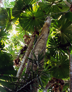Fan Palm Forest Canopy<br /> Daintree NP<br /> Wet Tropics WHA<br /> FNQ