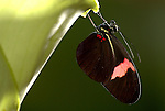 Red Postman Butterfly, Heliconus erato, resting underneath leaf, black and red, rainforest, jungle, collects and digests pollen, several months life span .South America....