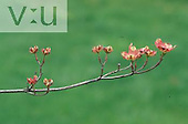 Sequence illustrating the progression of a Dogwood bud to flower.
